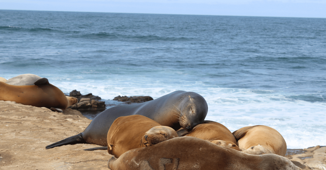 Seals lay together on the cliffs at La Jolla Cove.